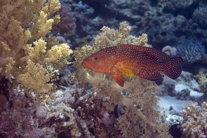 Coral hind (cephalopholis miniata) royalty free stock photo