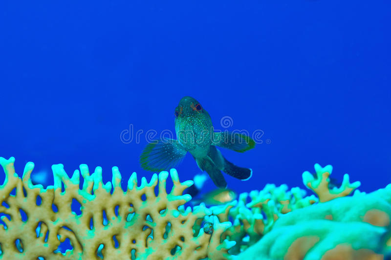 Coral hind royalty free stock image