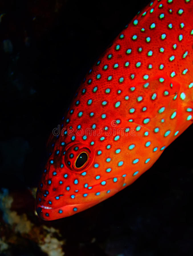 Coral Hind Grouper royalty free stock photos