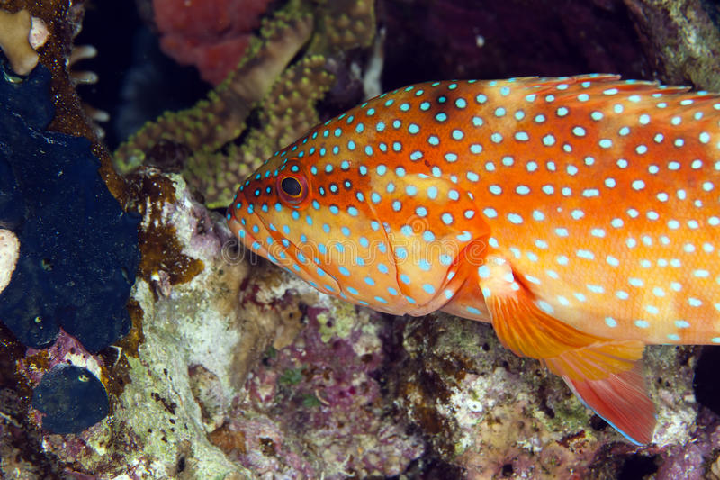 Coral hind in the Red Sea. royalty free stock photo