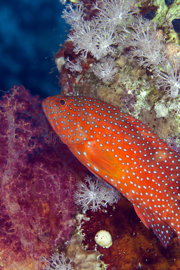 Coral hind in the Red sea. royalty free stock images