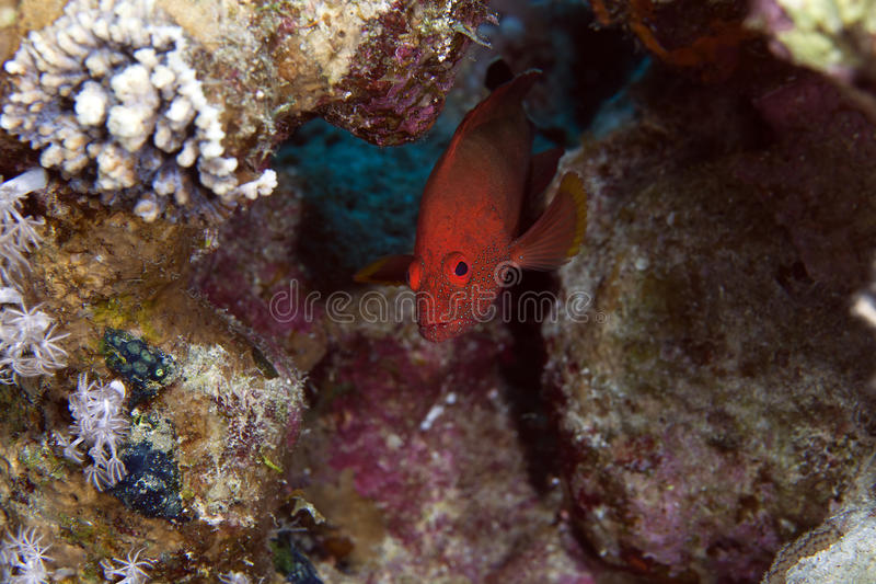 Coral hind in the Red sea. stock images
