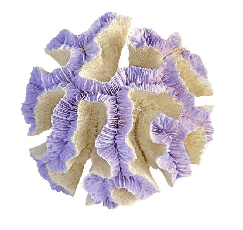 Coral isolado em branco imagens de stock