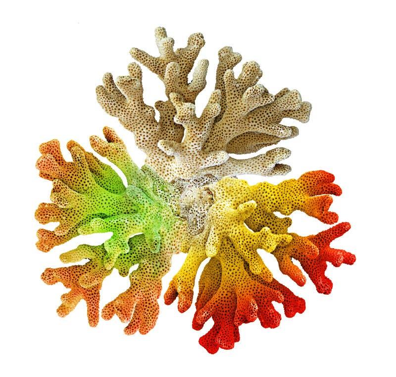 Coral isolado no branco fotos de stock