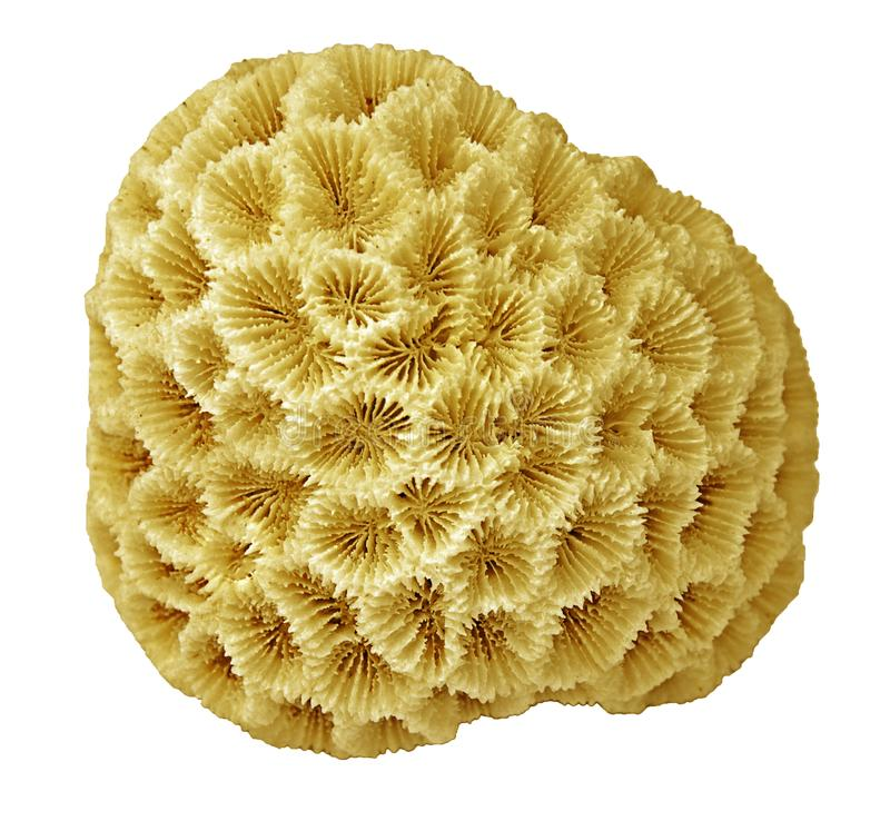 Coral isolado no branco imagem de stock