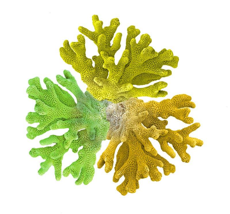 Coral isolado no branco foto de stock royalty free