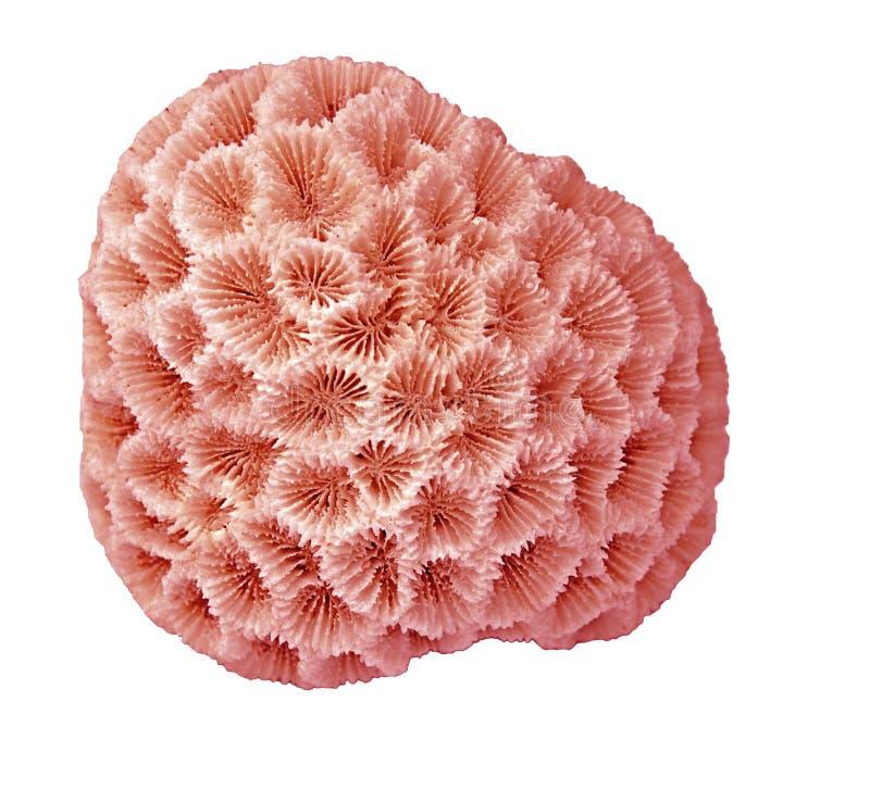 Coral isolado no branco imagens de stock