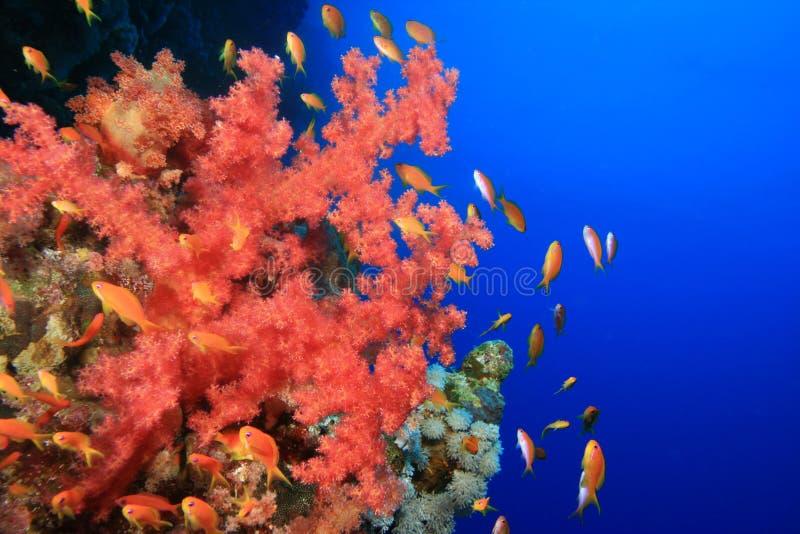 Download Coral Macio E Lyretail Anthias Imagem de Stock - Imagem de água, vermelho: 10054543