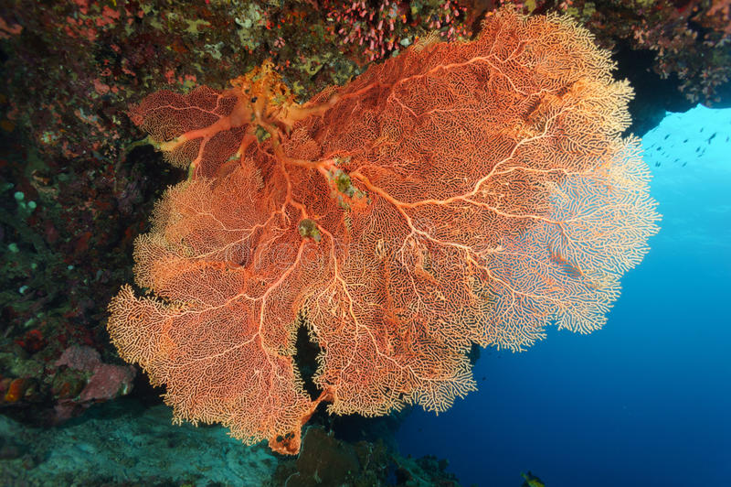 Coral macio vermelho (fã de mar) fotos de stock royalty free