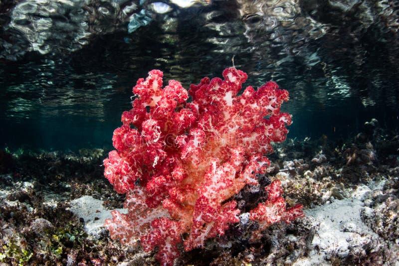 Coral macio vermelho no recife indonésio raso fotografia de stock