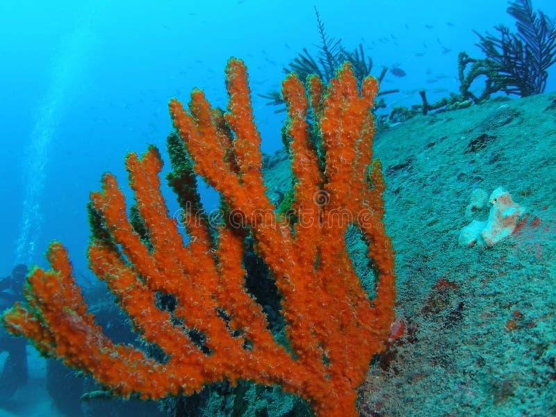 Coral no imperador do mar imagens de stock