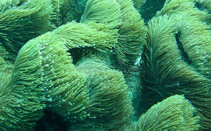 Coral ondulado fotografia de stock