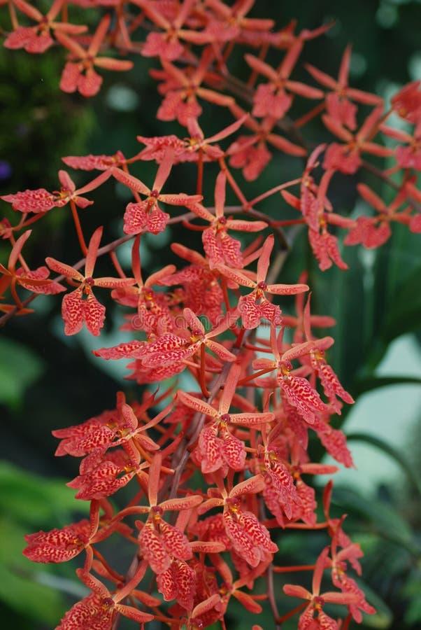 Coral Red Orchid Blooms - Feng Shui Plants fotografia de stock