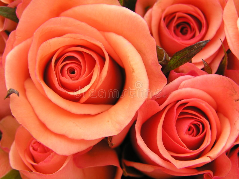 Coral red roses stock photography