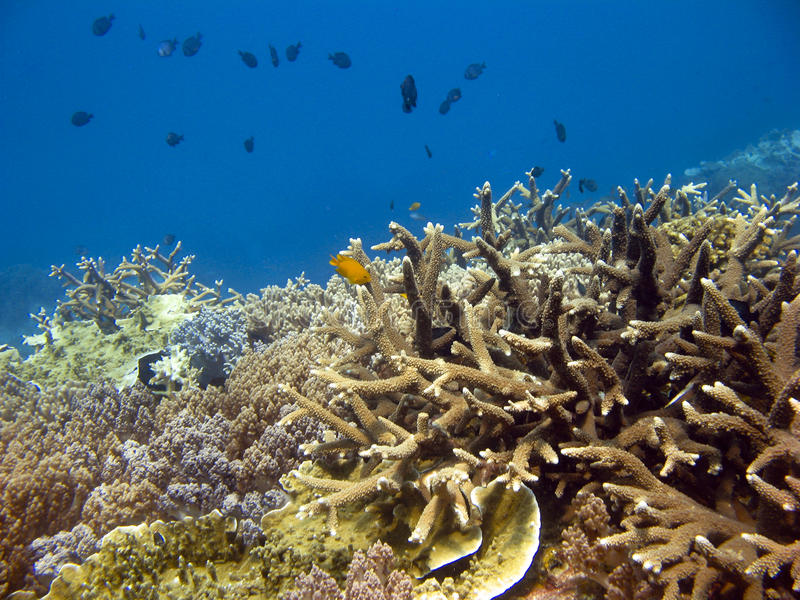 Coral Reef. Reef with colourful corals and blue water stock images
