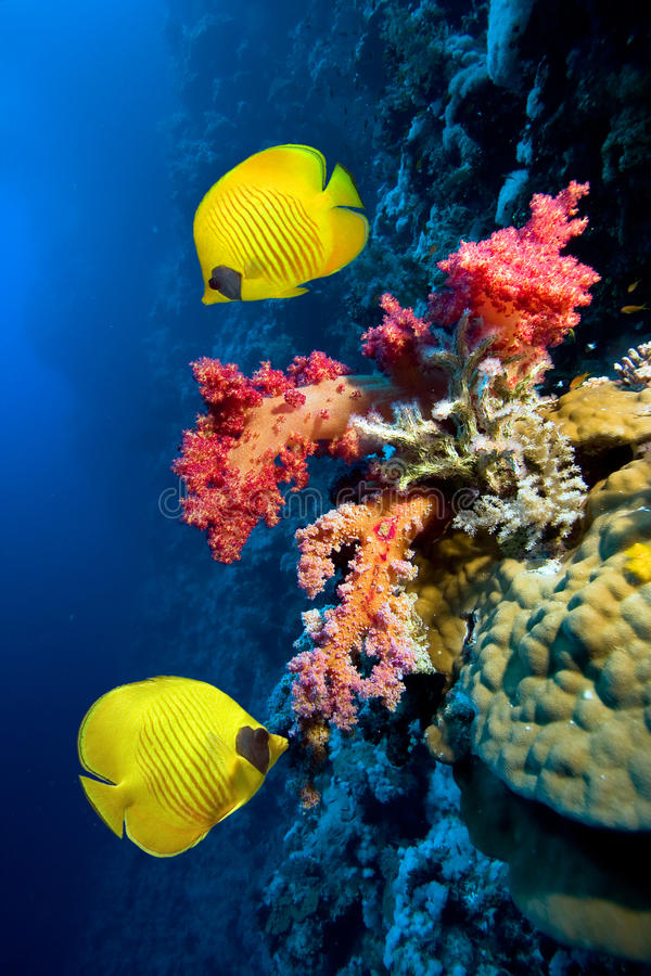 Free Coral Reef Royalty Free Stock Photos - 28255468
