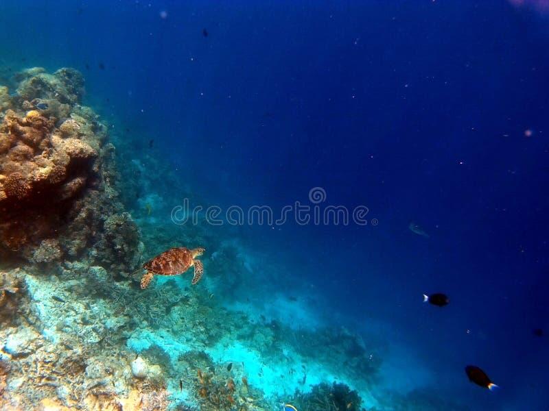 Coral Reef Aquatic Tortoise tropicale immagine stock