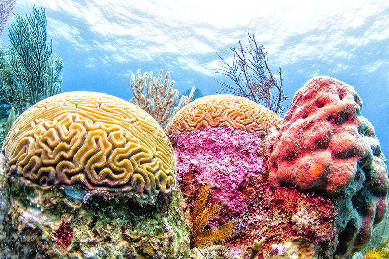Colorful Coral Reef, Belize. Colorful brain coral seen while diving the Belize barrier reef stock photography