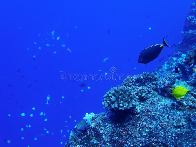Coral Reef in blu con il pesce tropicale Ridgeline con Backgr blu immagini stock