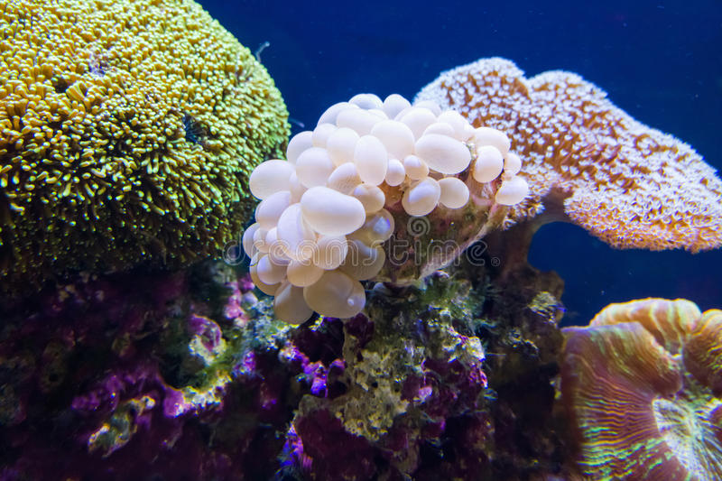 Coral Reef. Colorful coral Reef in aquarium royalty free stock photography