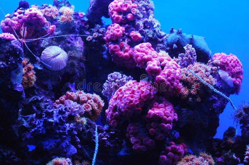 Coral Reef con los colores rosados y azules brillantes subacuáticos fotos de archivo libres de regalías