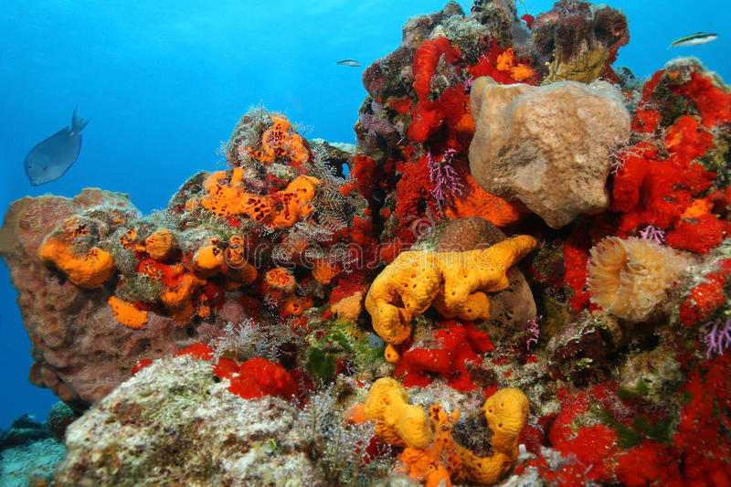 Coral Reef - Cozumel, Mexico. Colorful Coral Reef with a variety of Corals and Sponges in the Gulf of Mexico, Cozumelrn royalty free stock photo