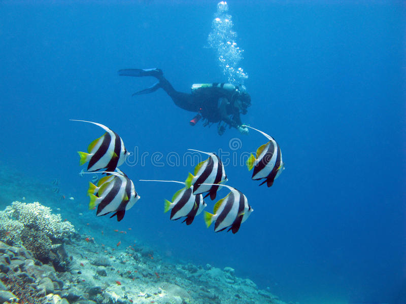 Coral reef and diver royalty free stock images