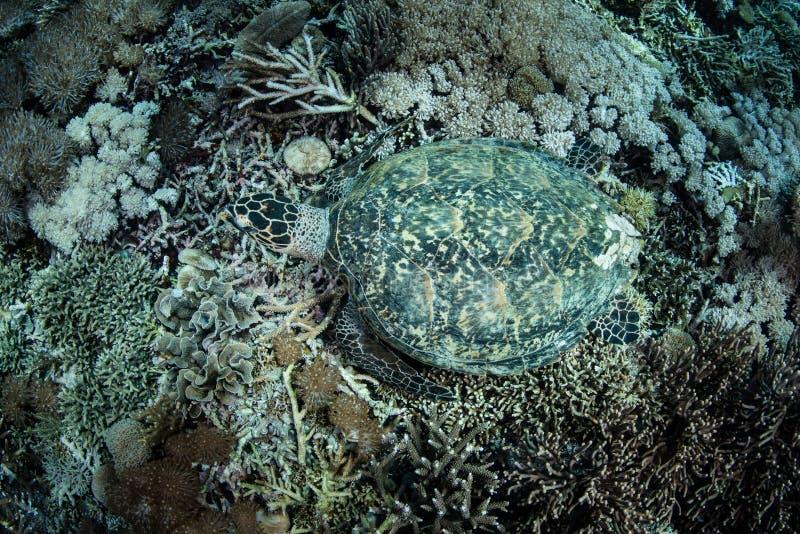 Coral Reef e tartaruga de mar de Hawksbill em Indonésia foto de stock