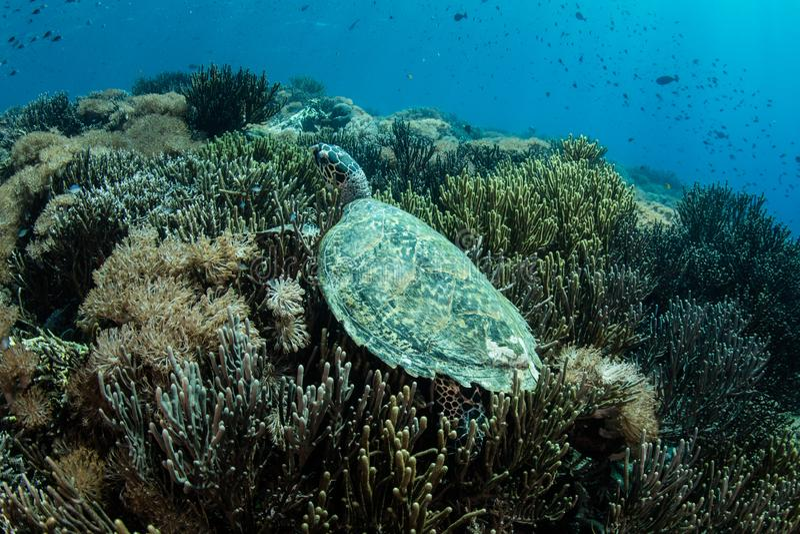Coral Reef e tartaruga de mar de Hawksbill imagem de stock royalty free