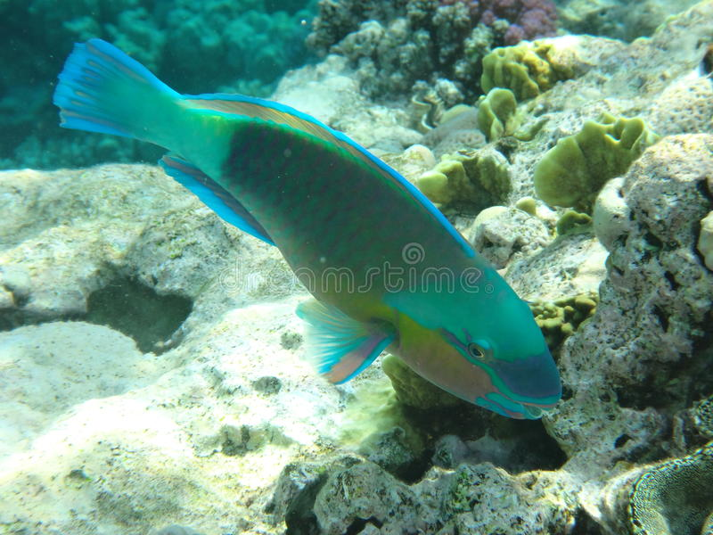 Coral reef in Egypt 2 stock image