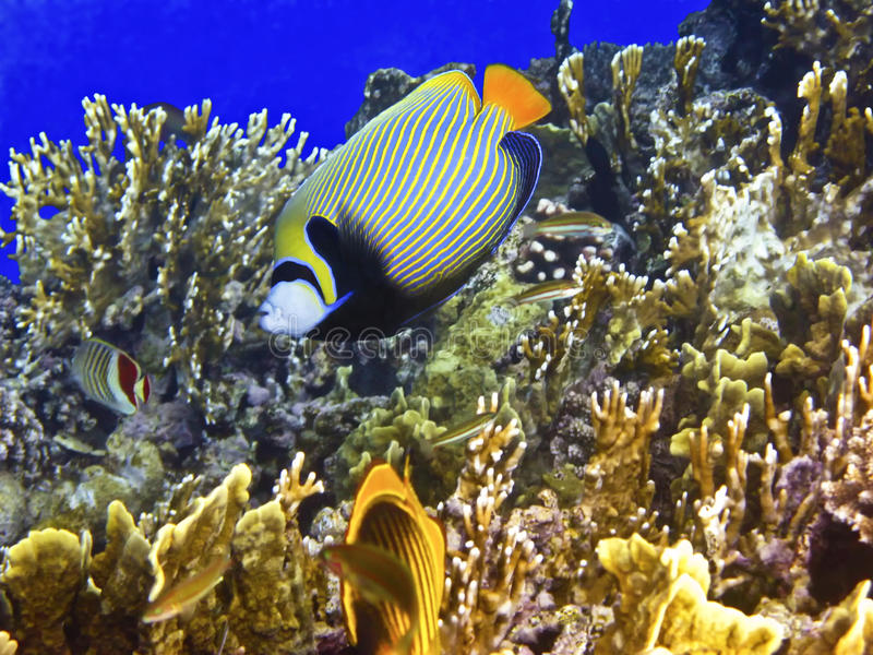 Coral reef and emperor angelfish royalty free stock photos