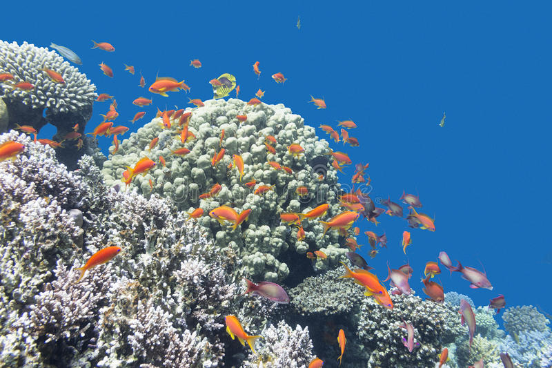 Coral reef with exotic fishes Anthias in tropical sea, underwate. Coral reef with exotic fishes Anthias at the bottom of tropical sea on a background of blue stock photos