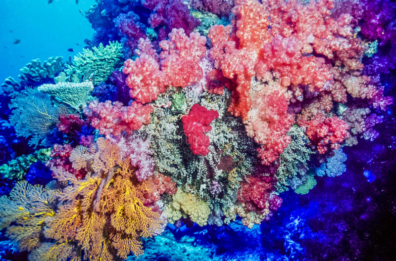 Coral reef Fiji South pacific. Coral reef with soft corals , Fiji in the South Pacific stock photos