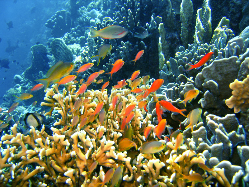 Download Coral reef fish stock image. Image of nemo, pacific, adventure - 2926865
