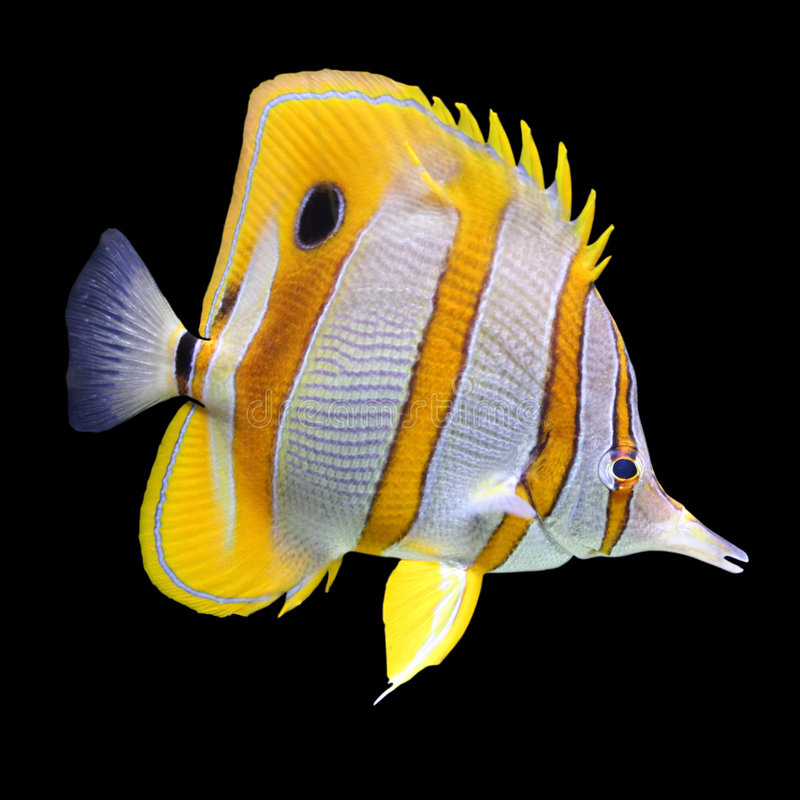 Coral reef fish. Close-up of a stripped coral reef fish isolated on a black background