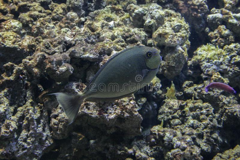 Coral reef fish close up. Animals of the ocean and sea. Marine life of Europe. royalty free stock photos