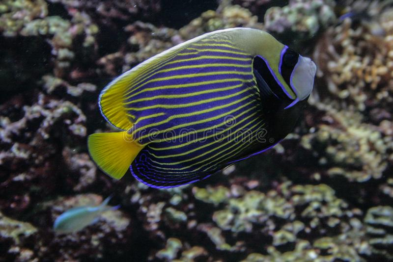 Coral reef fish close up. Animals of the ocean and sea. Marine life of Europe. royalty free stock image