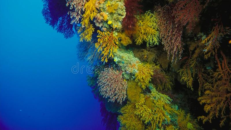 Coral reef, Great barrier reef, Australia. Underwater landscape. Marine life concept royalty free stock image