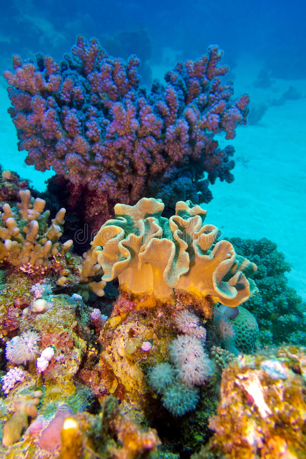 Coral reef with great hard and soft corals at the bottom of tropical sea. Coral reef with great hard and soft corals at the bottom of red sea in egypt stock images