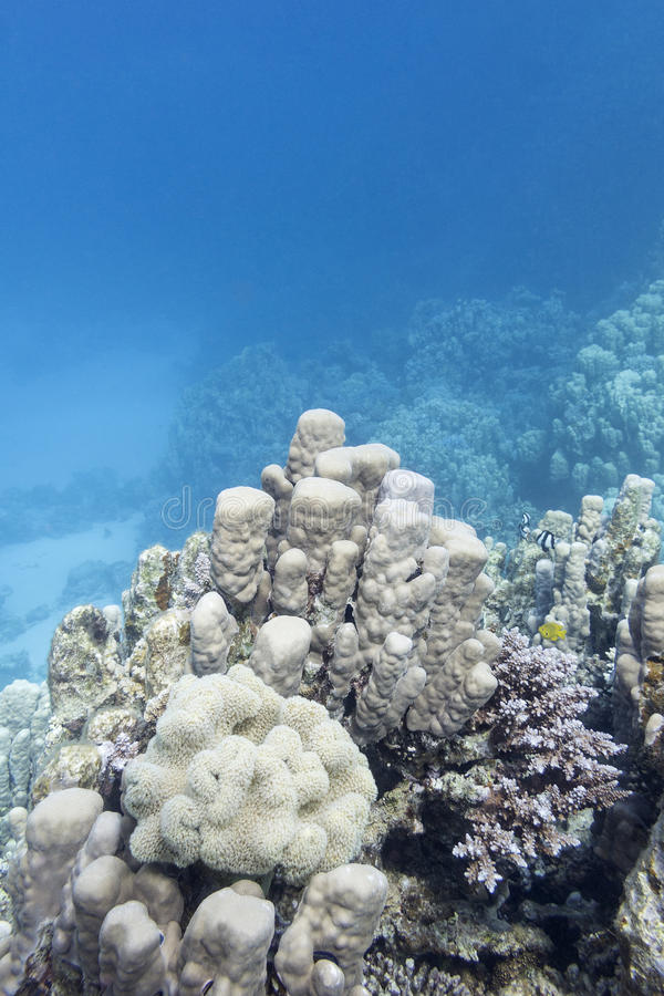 Coral reef with great porites coral in tropical sea, underwater. Coral reef with great porites coral at the bottom of tropical sea, underwater stock photography