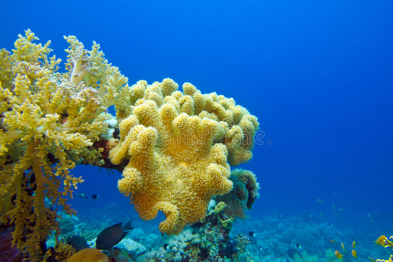 Download Coral Reef With Great Soft Coral On The Bottom Of Tropical Sea Stock Image - Image: 28605863