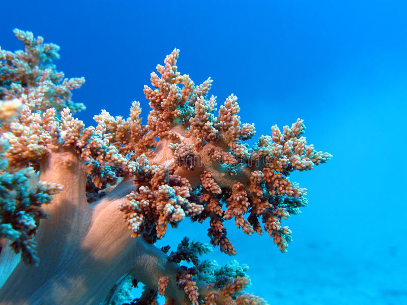 Coral Reef With Great Soft Coral At The Bottom Of Tropical Sea Royalty Free Stock Photos