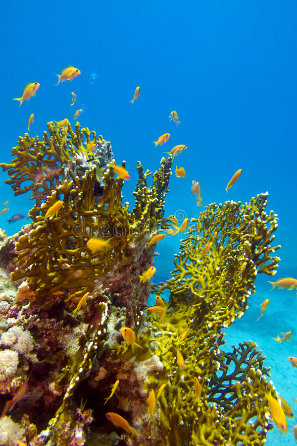 Download Coral Reef With Great Yellow Fire Coral And Fishes At The Bottom Of Tropical Sea Stock Image - Image of fire, ecosystem: 28938869