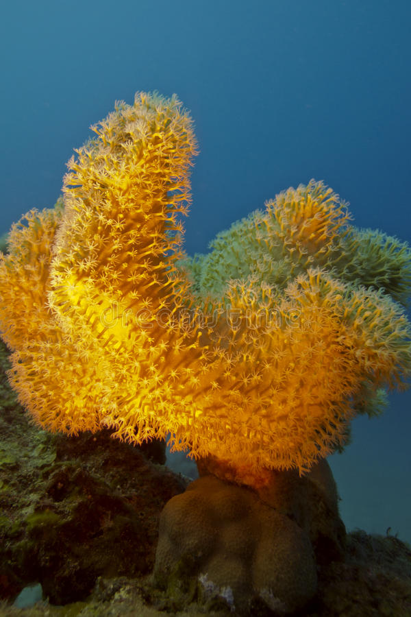 Coral reef with great yellow soft coral stock photography