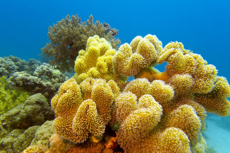 Coral reef with great yellow soft coral at the bottom of red sea stock images
