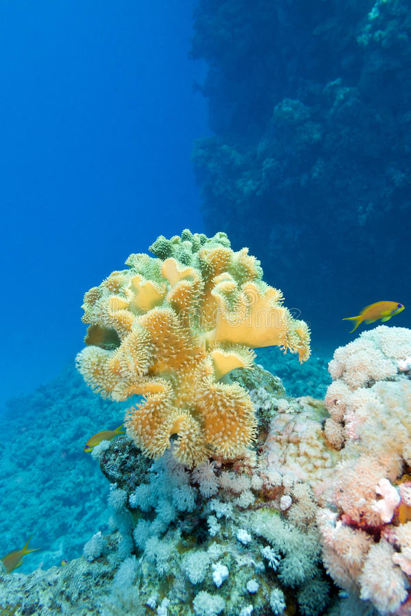Coral reef with great yellow soft coral in tropical sea on blue water background stock photography