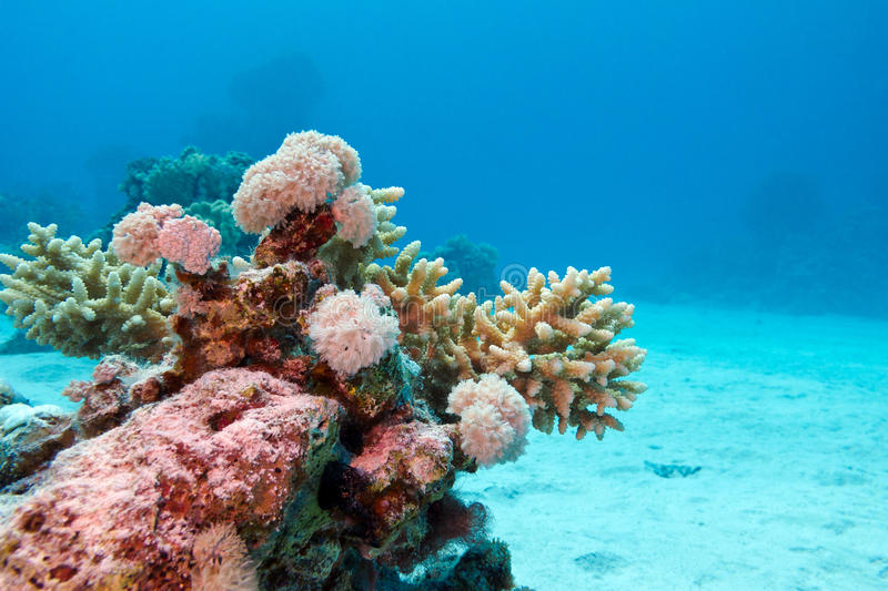 Download Coral Reef With Hard Corals At The Bottom Of Tropical Sea On Blue Water Background Stock Photo - Image: 34181152