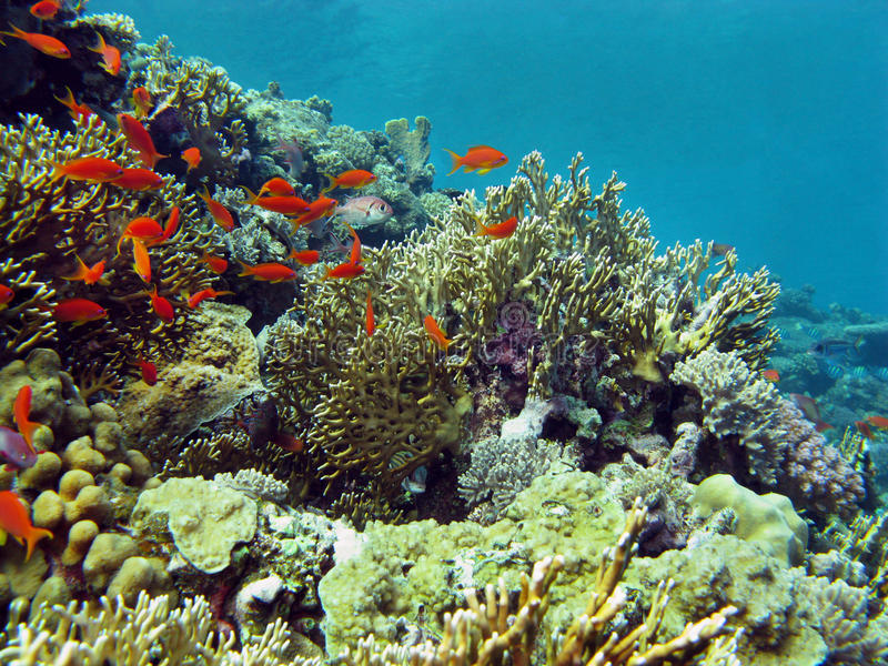 Coral reef with hard corals end exotic fishes at the bottom of tropical sea stock photography