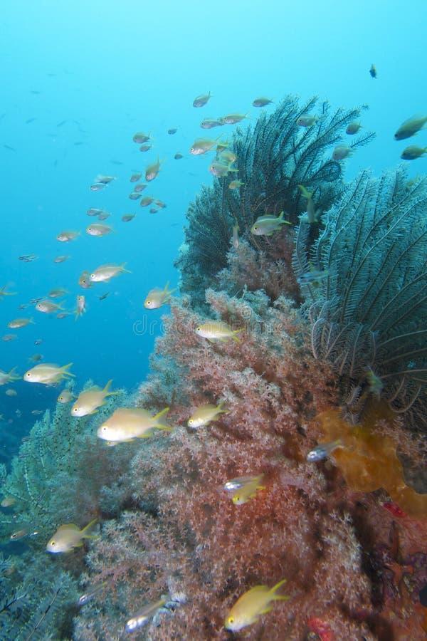 Coral Reef Life hermosa del capellán Burgos, Leyte, Filipinas fotografía de archivo