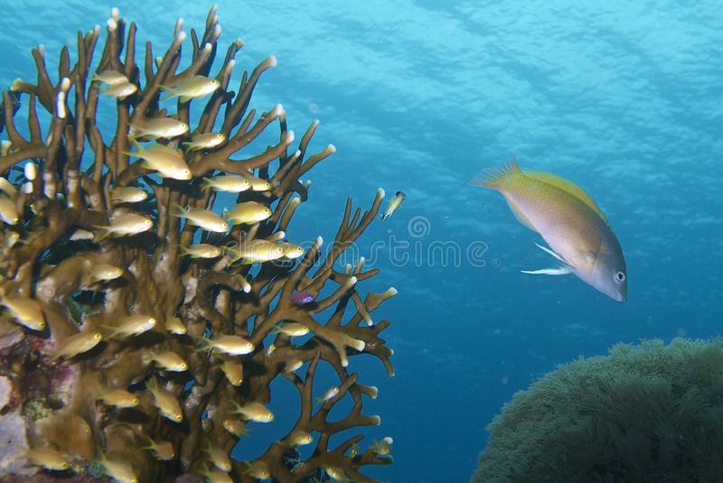 Coral Reef Life hermosa del capellán Burgos, Leyte, Filipinas foto de archivo